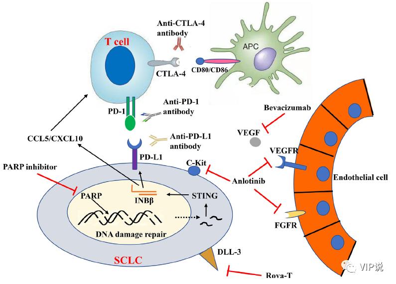 一文概览小细胞肺癌免疫治疗的未来发展方向